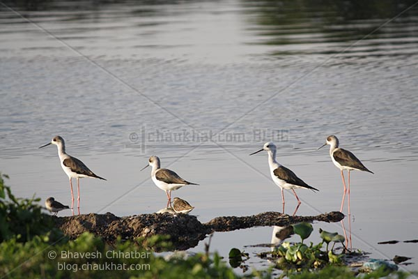 4 Black-winged Stilts AKA Common Stilt (Scientific Name: Himantopus Himantopus)